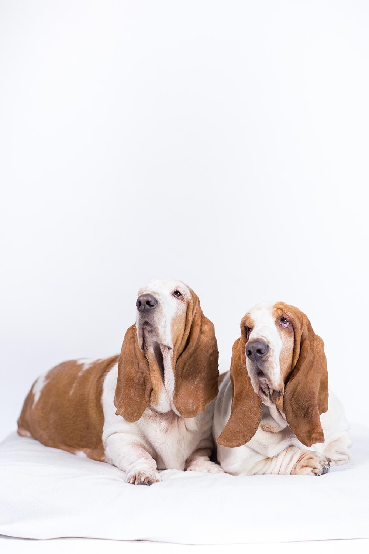 Fine art portret basset honden Otis en Bibi