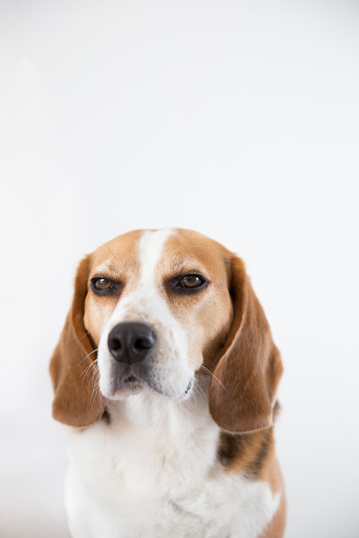 Fine art portret beagle Joris