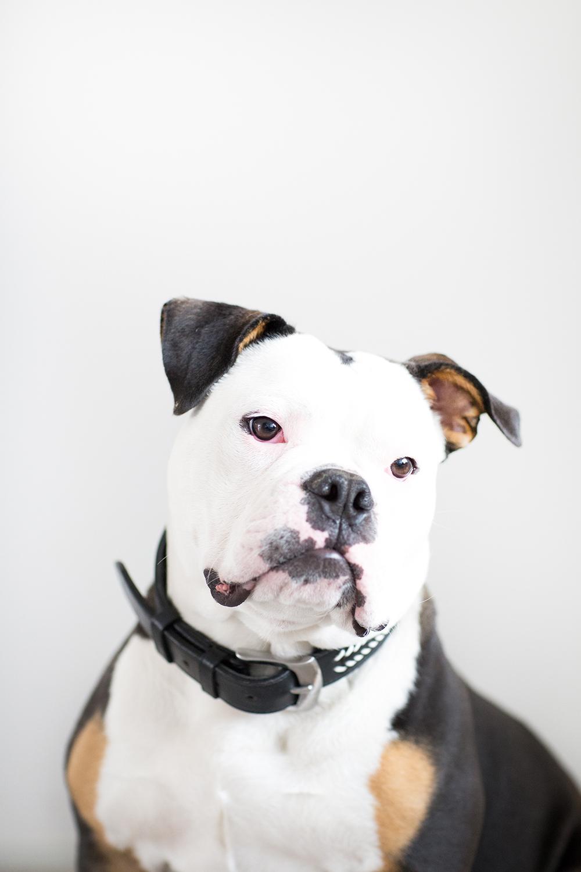Fine art portret engelse bulldog King