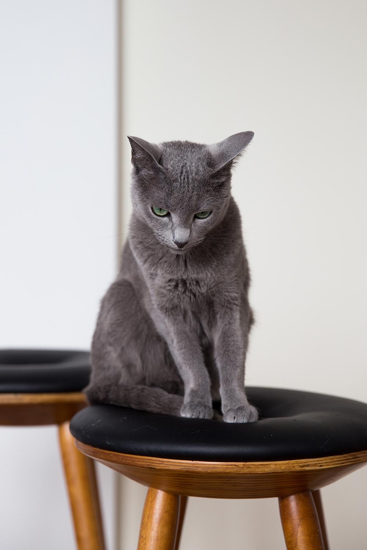 Fine art portret russian blue kat Amelie